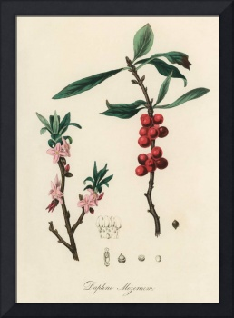 Vintage Botanical February daphne