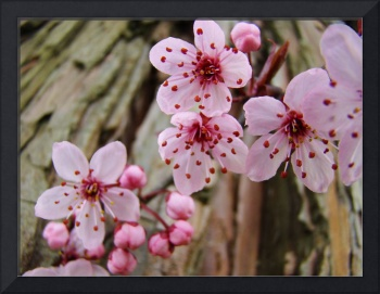 BLOSSOMS Spring 14 Pink Tree Blossoms Art Prints