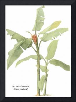 Red Torch Banana (Musa Coccinea) Botanical Art