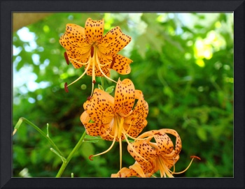 BOTANICAL Orange Tiger Lilies Art Prints