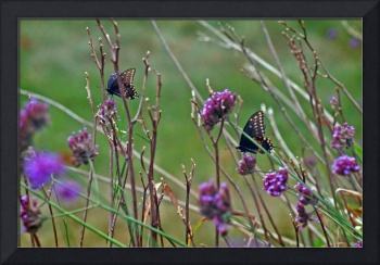 Butterflies  Black Swallowtails
