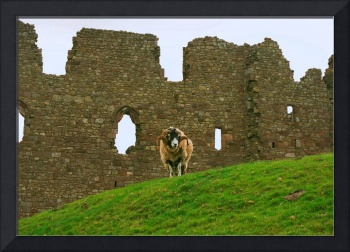 Ram and Castle Wall, Wales, United Kingdom