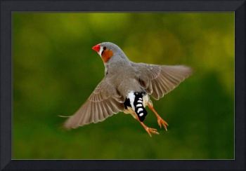 Zebrafink Zebrafinch in flight 7D