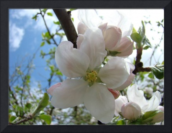 Spring APPLE BLOSOSMS 50 Apple Tree Art Gifts