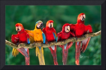 Colorful Macaw Birds, Peru