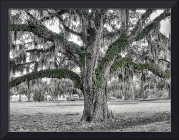 Lowcountry Live Oak