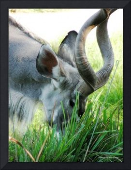 Horned Beasts Series - Kudu Namibia