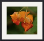 Jewelweed by Jim Bavosi