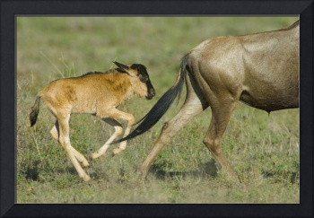 Side profile of a wildebeest and its calf running