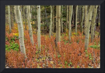Colorful_Aspen_Forest_Floor