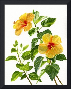 Yellow Hibiscus with White Background
