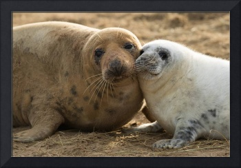 Grey Seal Pup Cuddles His Mother