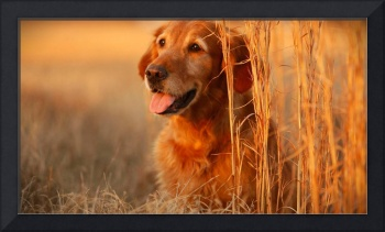 Golden Retriever Puppy Dog In A Cornfield