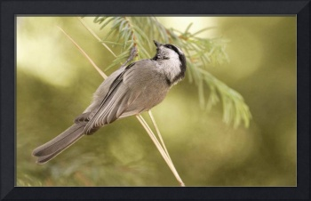 Mountain Chickadee - South Lake Tahoe