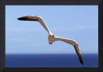 Gannet Flying Over The Water Perce, Quebec, Canad