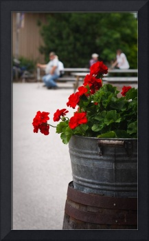 Barrel of Geraniums