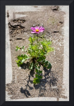 Cosmea and asphalt