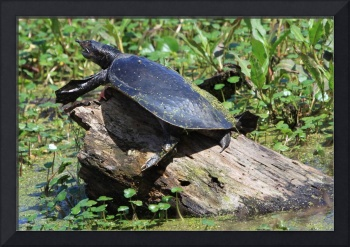 Softshell Turtle a living fossil