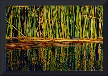 Coot among the Reeds
