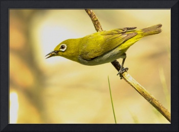 just another Japanese White-eye