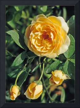 Yellow Rose Flower Picture