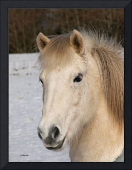 Horse of the Vikings ~ Icelandic Horse
