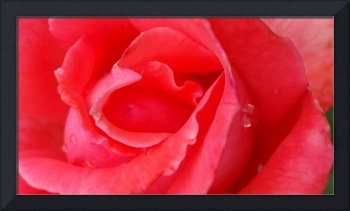 Red rose and dew drops