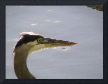 BLUE HERON PORTRAIT
