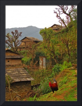 Rooster in the Village