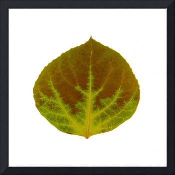 Brown and Green Aspen Leaf 4
