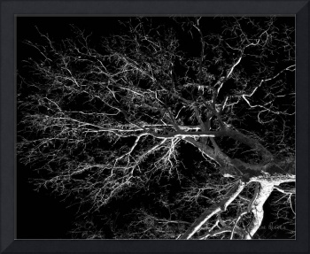 Sycamore in Black and White