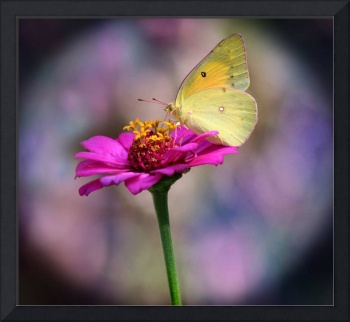 Orange Sulphur Butterfly Pastel Spotlight