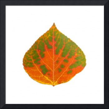 Green and Orange Aspen Leaf 1