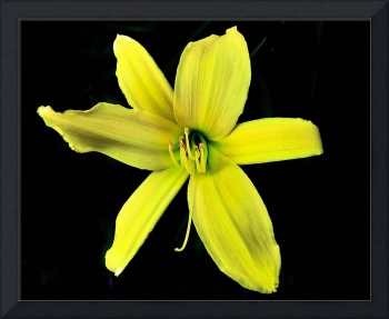 Just a Yellow Day Lily.