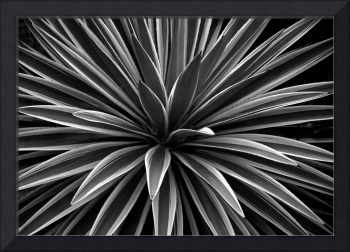 Yucca - Black and White