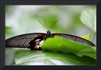Great Yellow Mormon Butterfly Hiding