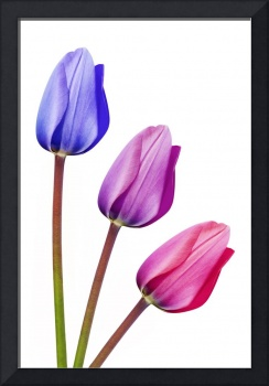 Trio of Tulips Purple Lilac Pink