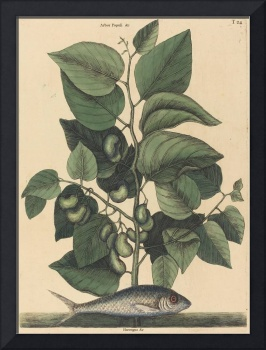 Mark Catesby~The Pilchard (Argentina carolina)
