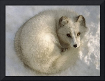 Curled Up In The Snow White Fox
