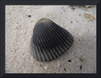 Black Seashell on beach at Gulf Shores