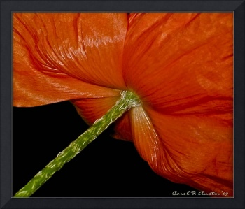 Red Poppy Signed and Dated by Photographer