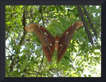 atlas moth at maligawila bosath prathima
