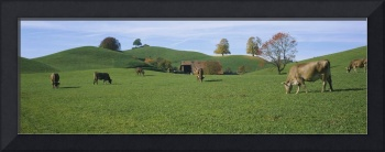 Cows grazing on a field