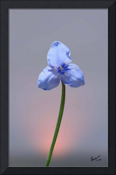 Blue Spiderwort