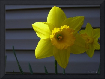 Shaded Yellow Daffodil
