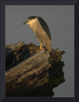 Black-crowned Night-Heron in Coney Island