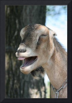 The Laughing Goat