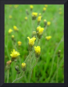 Yellow Hawkweed Field