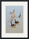 Gaggle Of Geese by Rich Kaminsky