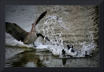 When Geese Attack